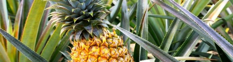 Enzymtherapie_Ananas
